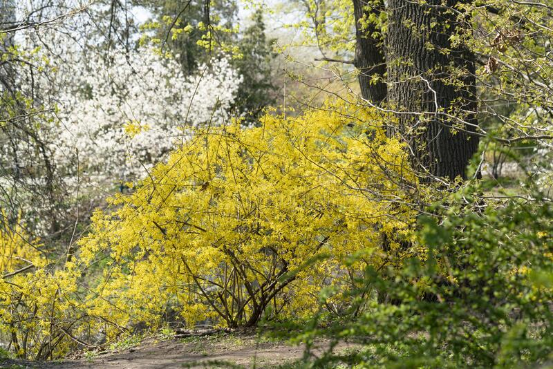 First spring flowers in the park, yellow forsythia shrub. Scenics nature. First spring flowers in the park, yellow forsythia shrub and fruit trees on royalty free stock images
