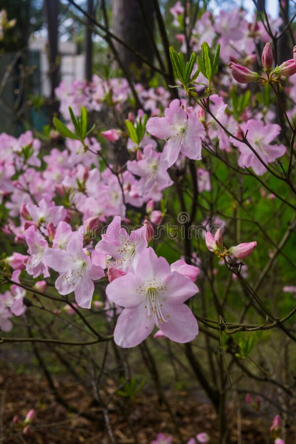 The first spring flowers of pink azalea . Early spring. The first spring flowers of pink azalea. Early spring stock photography