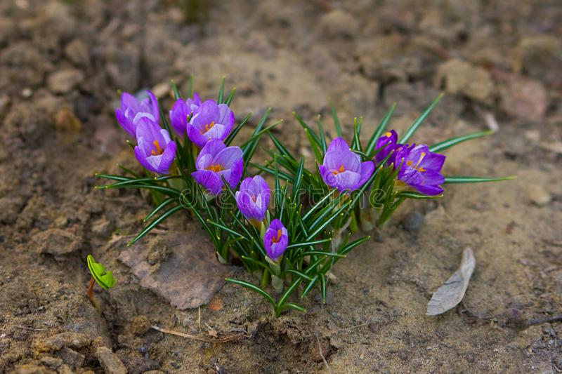 The first spring flowers - purple crocuses grow on the ground. large image stock photography