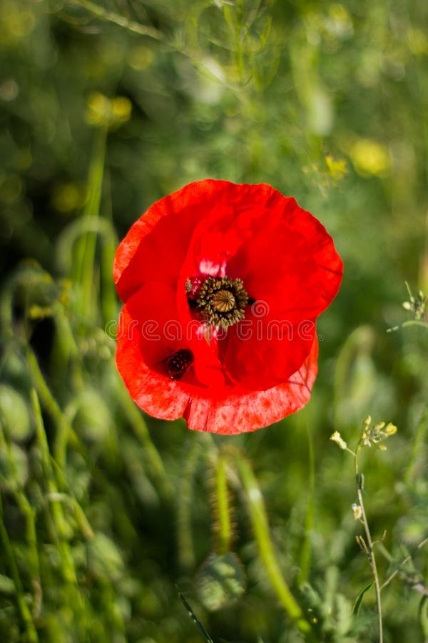 The first spring flowers. Red poppies.  stock photos