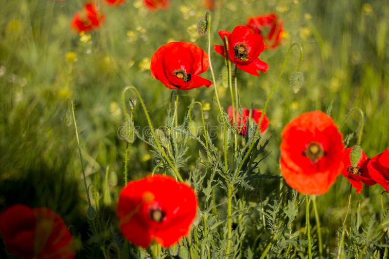 The first spring flowers. Red poppies.  royalty free stock photos
