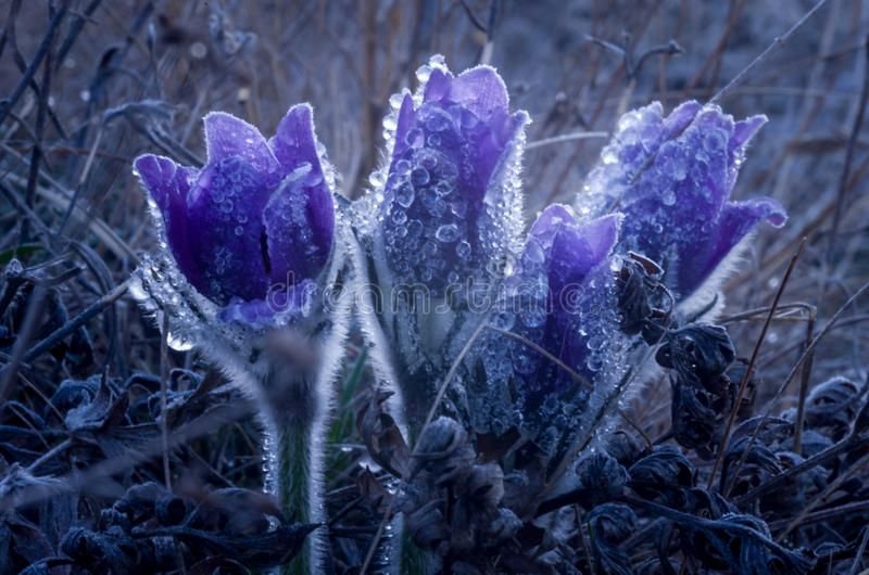 First spring flowers, snowdrops in garden stock photos