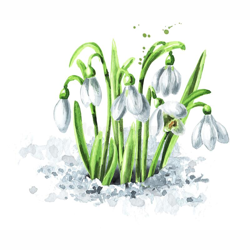 Free First Spring Flowers Snowdrops Grows Out Of The Snow. Hand Drawn Watercolor Illustration, Isolated On White Background Royalty Free Stock Photography - 200152367