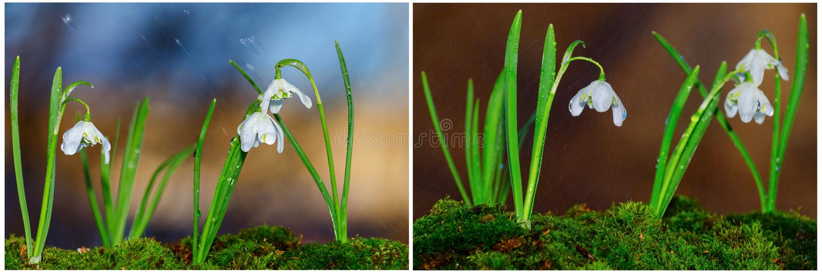 First spring flowers snowdrops in the rain stock image
