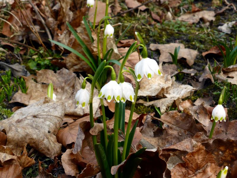 First spring flowers. royalty free stock images