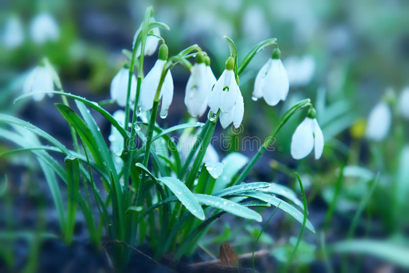 First spring flowers snowdrops. stock photo