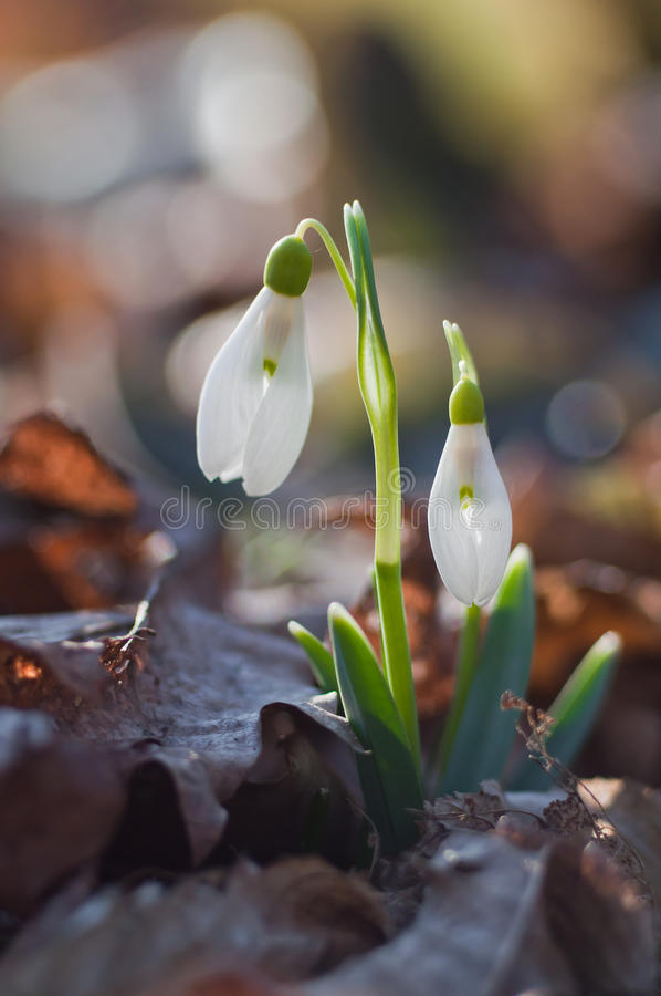 First spring flowers snowdrops royalty free stock image