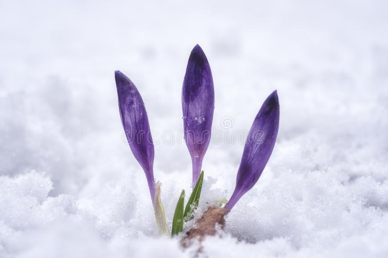 First spring flowers - violet crocus or saffron in the snow, nature background stock photos