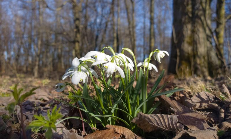 The first spring flowers. White snowdrops in the forest. stock photo