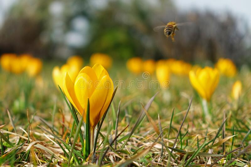 First spring flowers, yellow crocus with bee flying away royalty free stock image