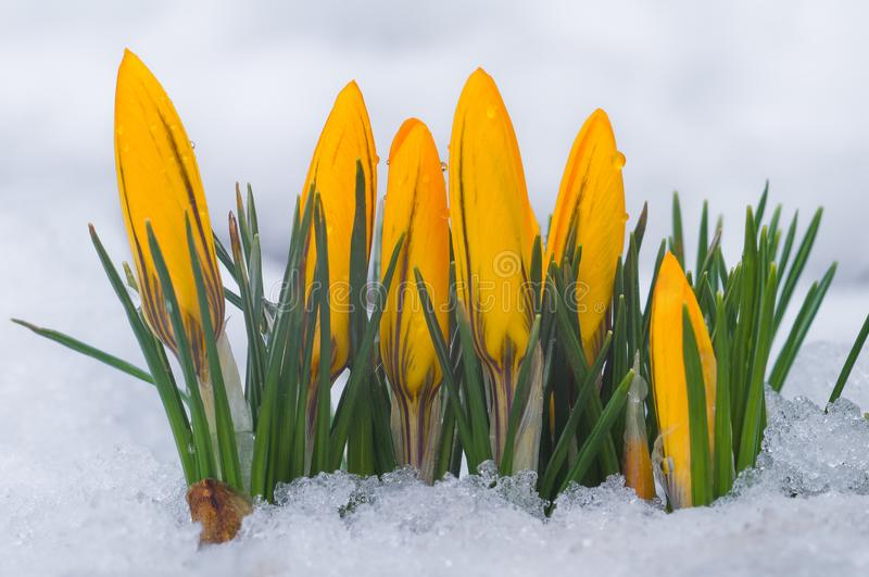 First spring flowers. Yellow crocuses growing among snow royalty free stock photo
