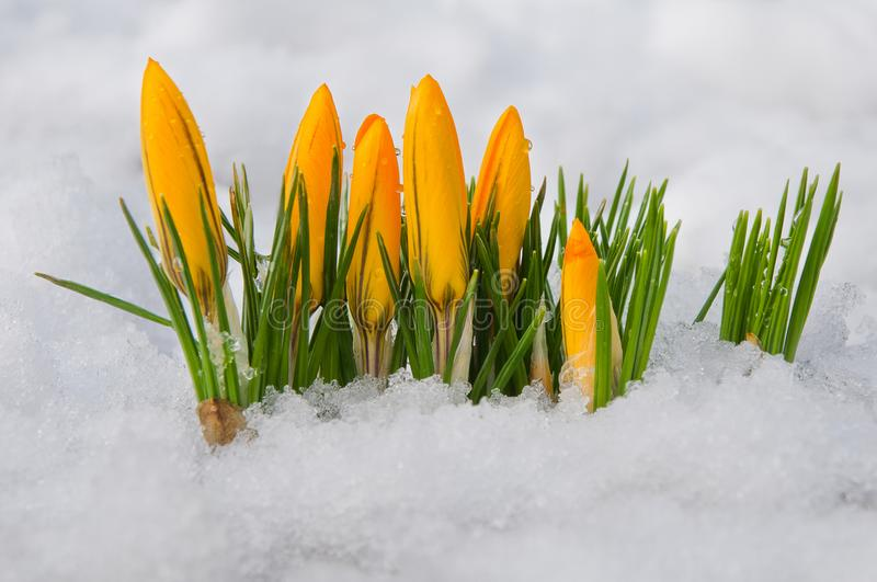 First spring flowers. Yellow crocuses growing among snow stock image