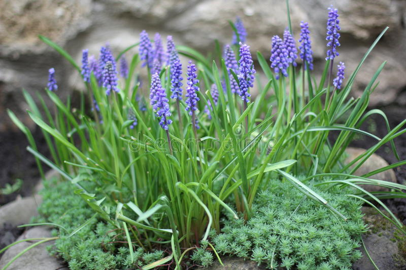 First spring garden flowers royalty free stock photos