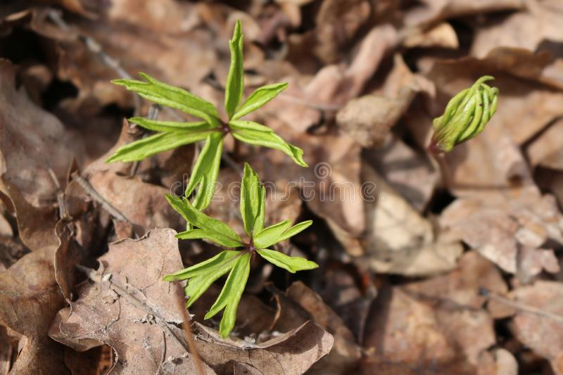 The first spring plants sprout from the ground to bring last year's dry leaves. They are gentle and beautiful stock photo
