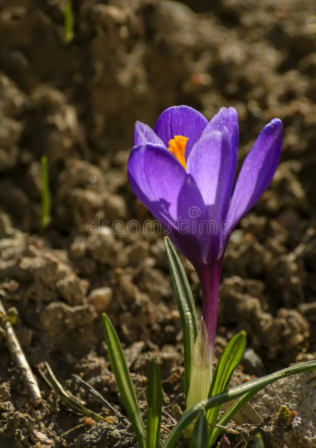 The first spring purple flowers crocuses in the garden in stock images