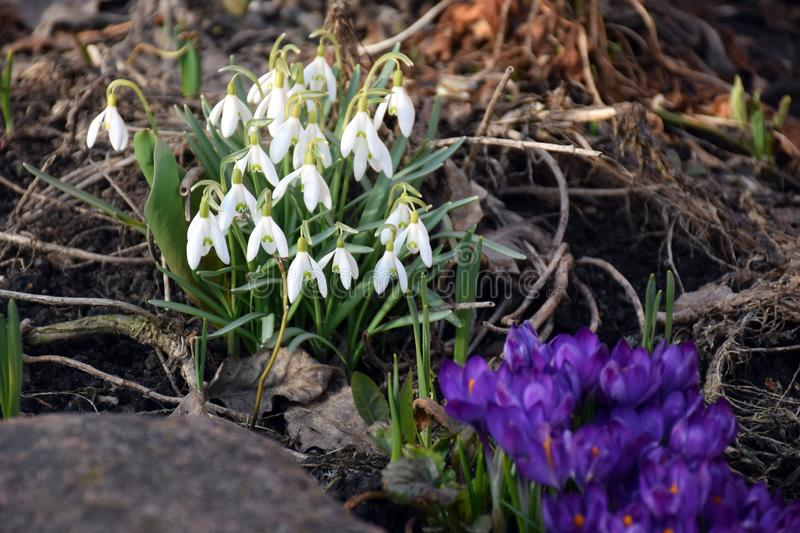 First spring snowdrops and crocuses in the forest stock image
