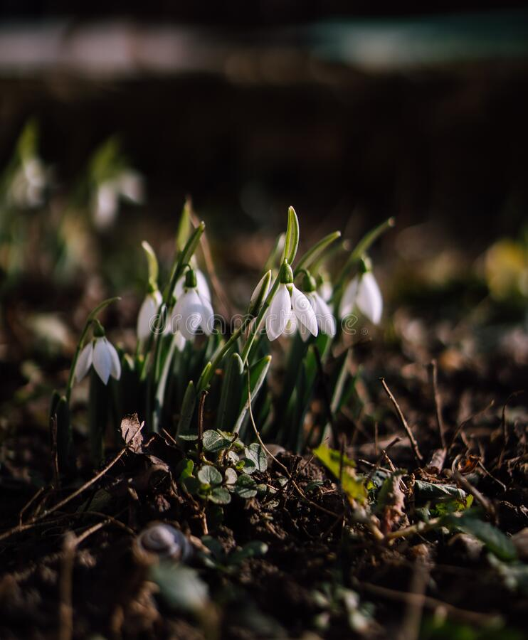 First Spring Snowdrops Flowers in garden. Beautiful snowdrop spring flowers closeup stock photography