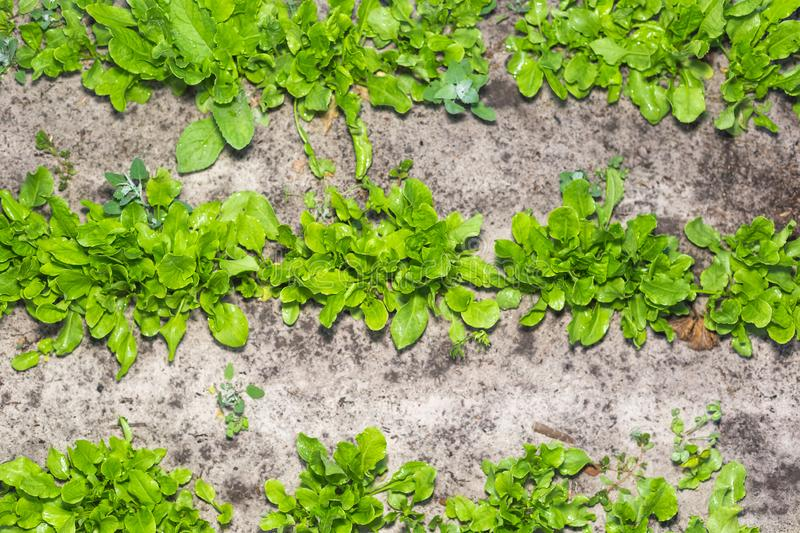 The first spring sorrel in the garden.  stock images