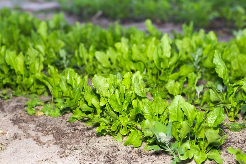 The first spring sorrel in the garden.  royalty free stock photography