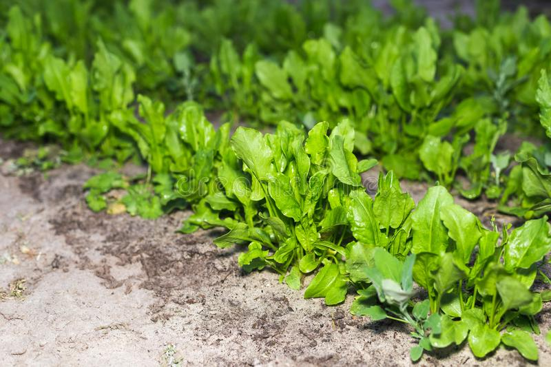 The first spring sorrel in the garden.  royalty free stock photos