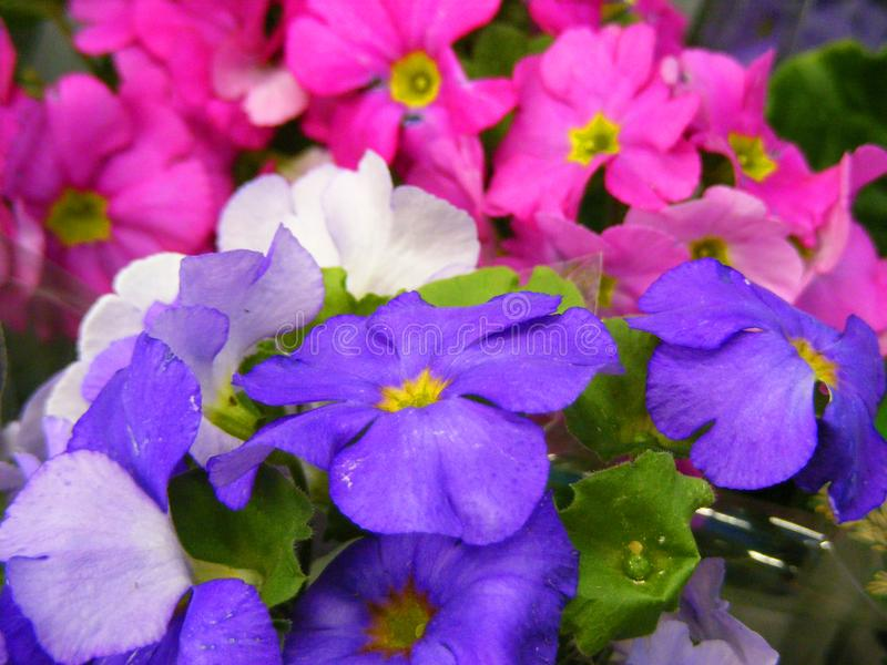 First springs flowers primula mix colors close up stock image download first springs flowers primula mix colors close up stock image image of design mightylinksfo