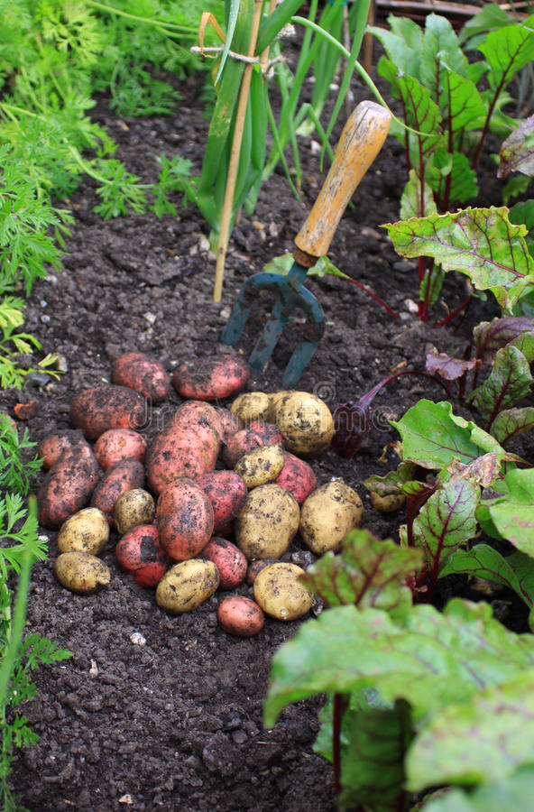 First Spuds stock photos