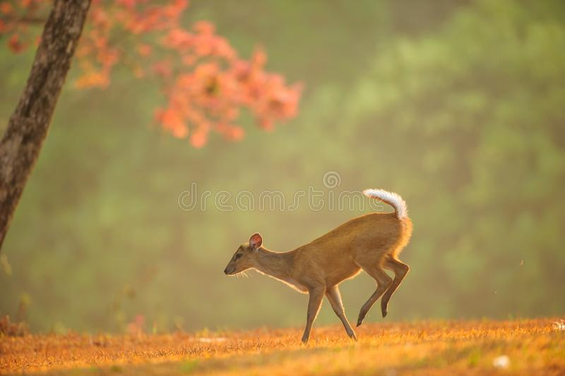 First step of baby Muntjac on the golden grassland in spring sea royalty free stock images