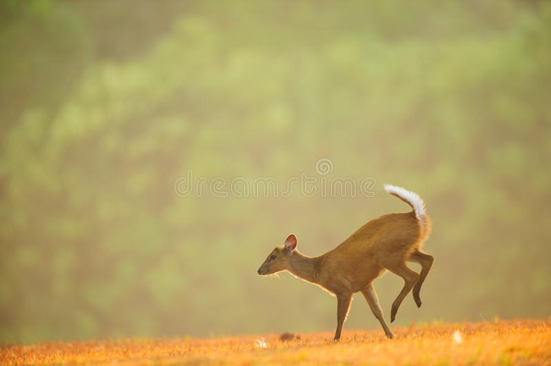 First step of baby Muntjac on the golden grassland in spring sea stock photos