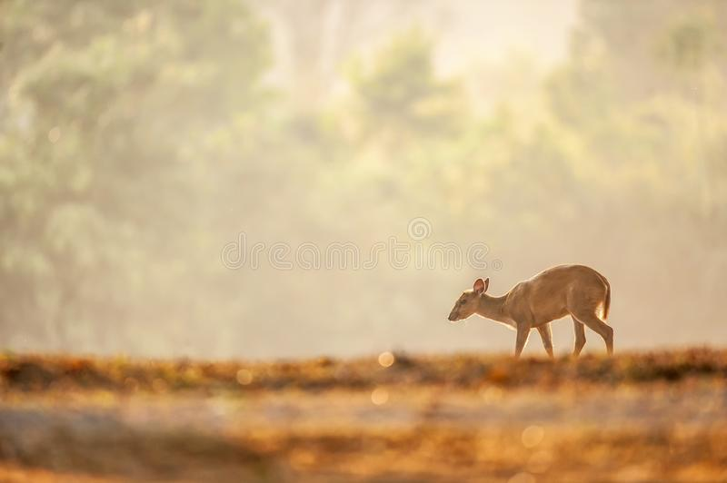 First step of baby Muntjac in the golden grassland in summer season. Relaxation tropical landscape in morning light. Glittering stock photo