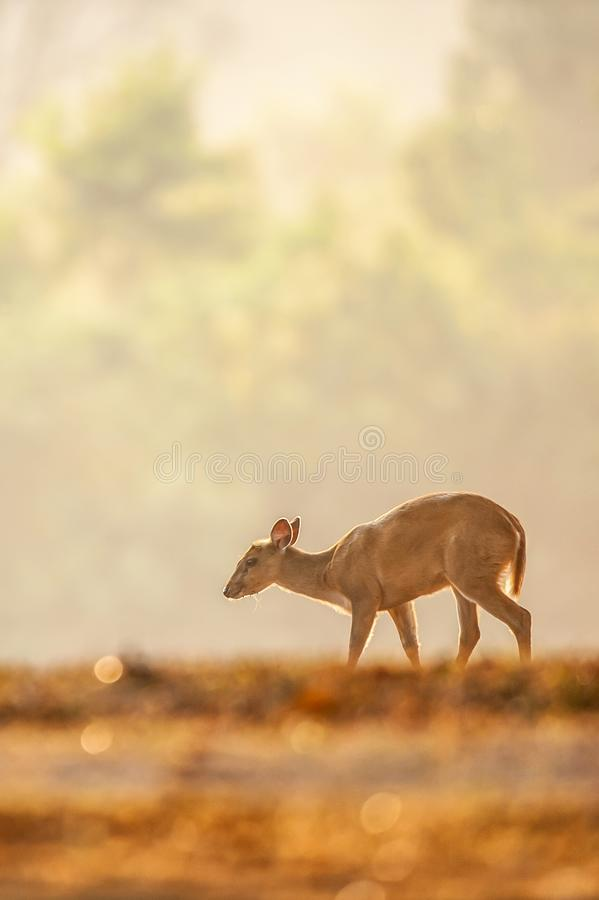 First step of baby Muntjac in the golden grassland in summer season. Relaxation tropical landscape in morning light. Glittering stock image