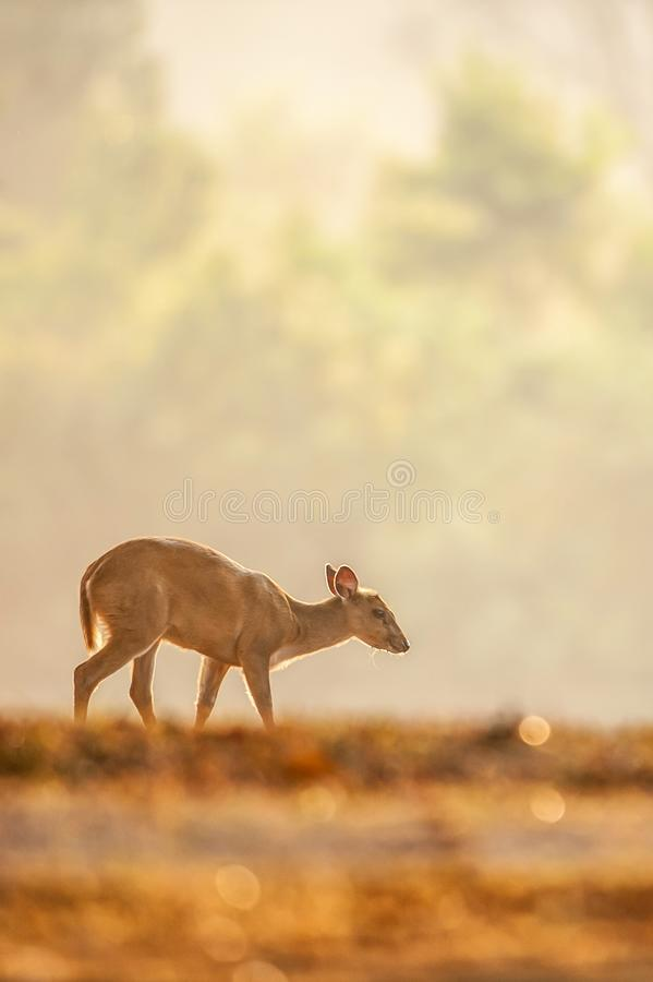 First step of baby Muntjac in the golden grassland in summer season. Relaxation tropical landscape in morning light. Glittering royalty free stock images