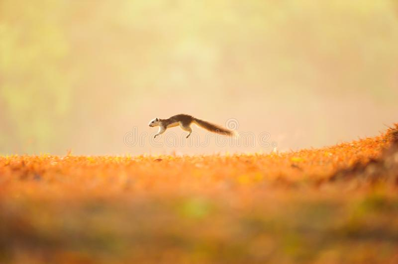 First step of a little Variable squirrel on the golden grassland stock image