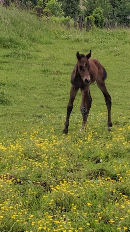 First steps newborn horse foal. A baby quarter horse takes his first steps in a field of great and yellow flowers royalty free stock image