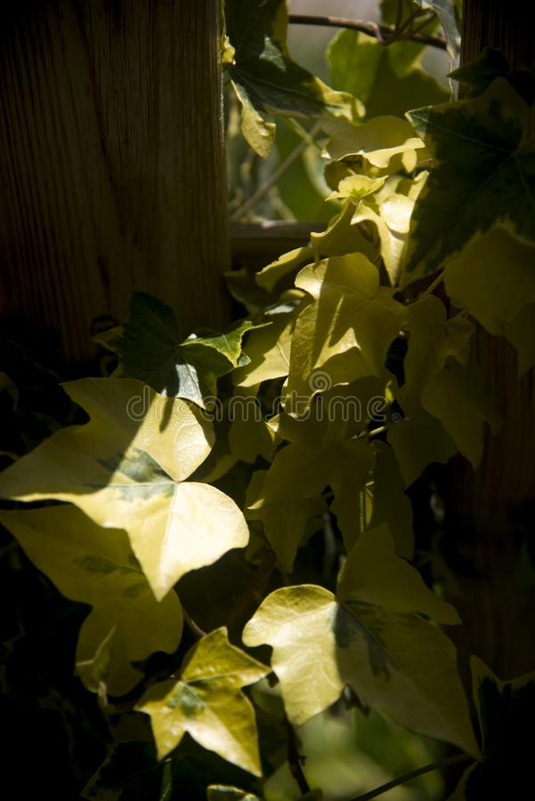 The first sun ray in the morning. On a branch of yellow ivy royalty free stock image