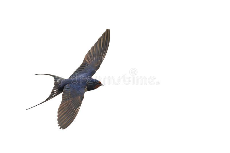 First swallow in flight isolated on white royalty free stock photo