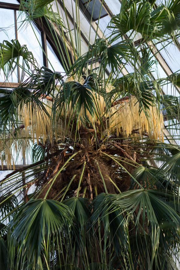 24.01.2019 Kyiv, Ukraine. A.V. Fomin Botanical Garden. Blooming of the oldest palm tree in the collection - Livistona. Palm trees. For the first time the palm stock images