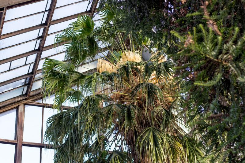 24.01.2019 Kyiv, Ukraine. A.V. Fomin Botanical Garden. Blooming of the oldest palm tree in the collection - Livistona. Palm trees. For the first time the palm stock image