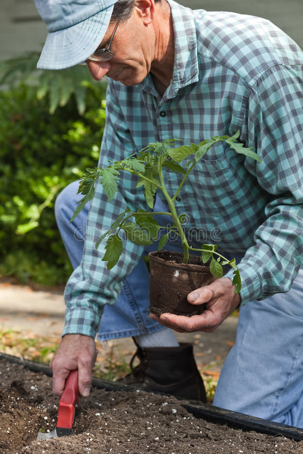 First Tomato Plant. Closeup a mature man planting a tomato plant in the garden stock photo