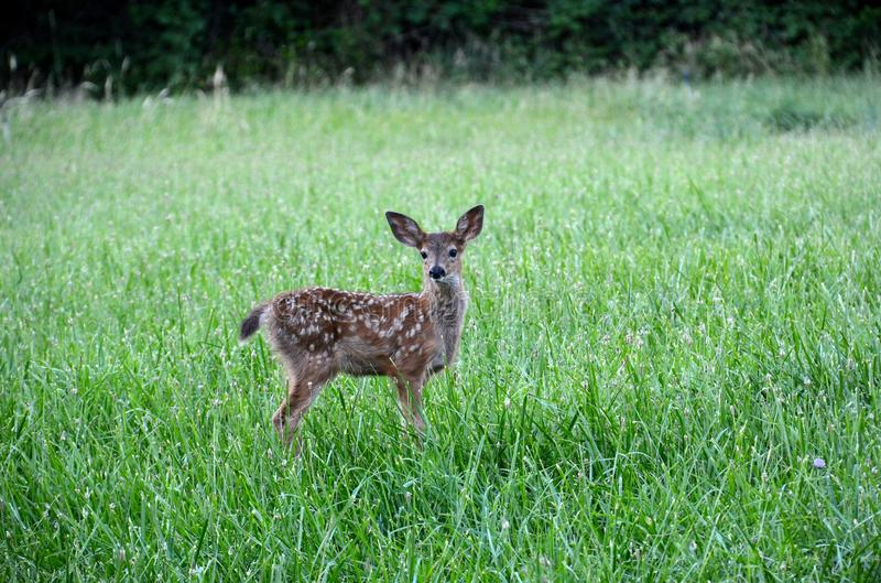 The first viewing of a fawn royalty free stock images