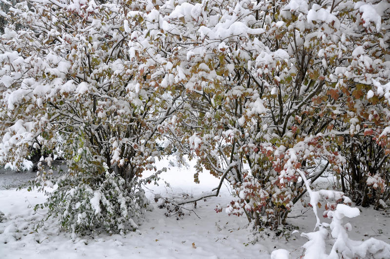 First white snow on green leaves_3. Suddenly a very early first snow fell on the still green trees and bushes royalty free stock image