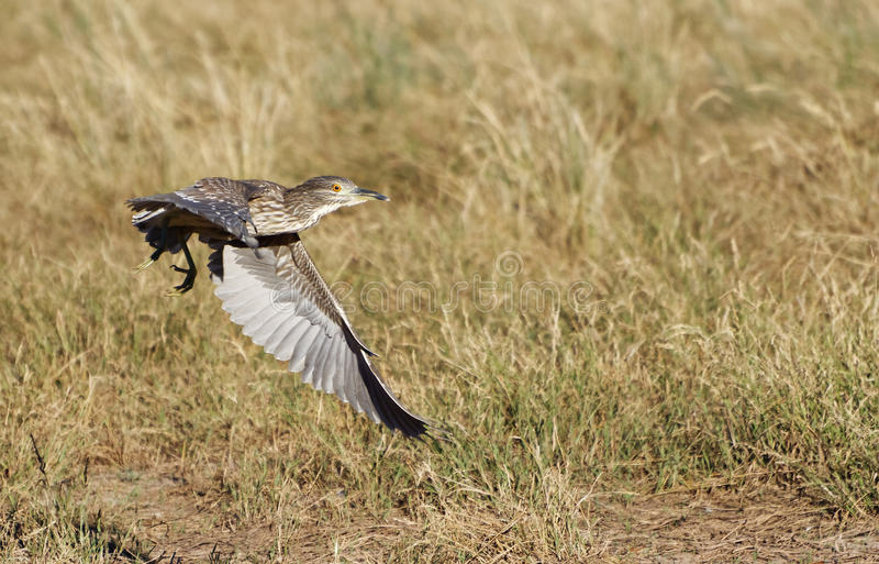 First year Black-crowned Night Heron royalty free stock photography