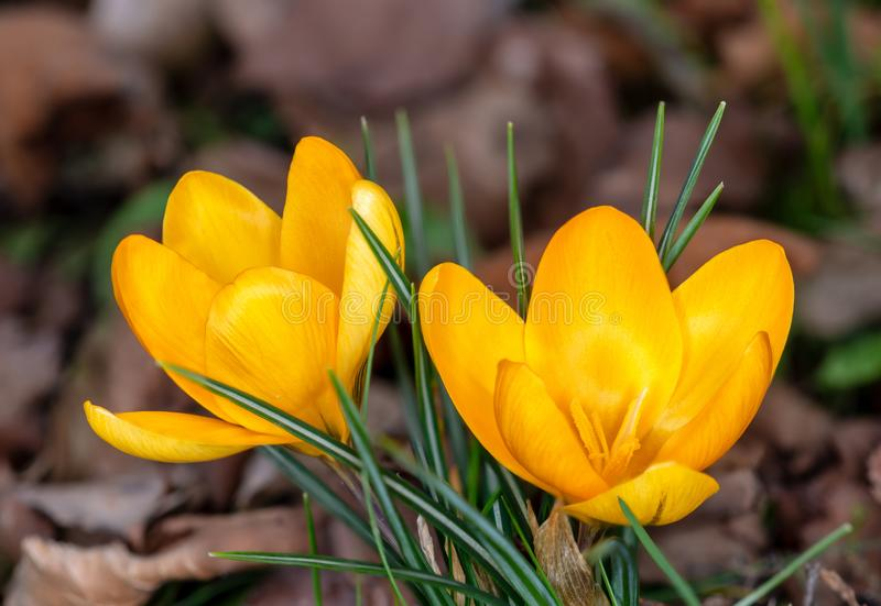 First yellow crocus of early spring royalty free stock photo