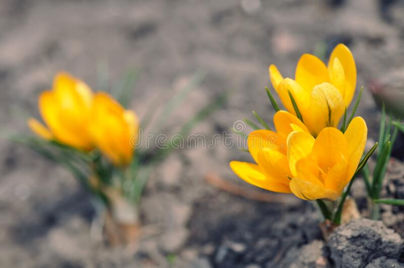 First yellow spring crocus flowers on ground. With green leaves royalty free stock image