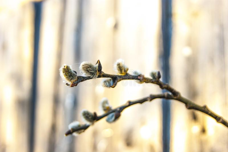 The first young fresh spring fluffy buds of willow, like bunnies sitting on a tree branch stock photos