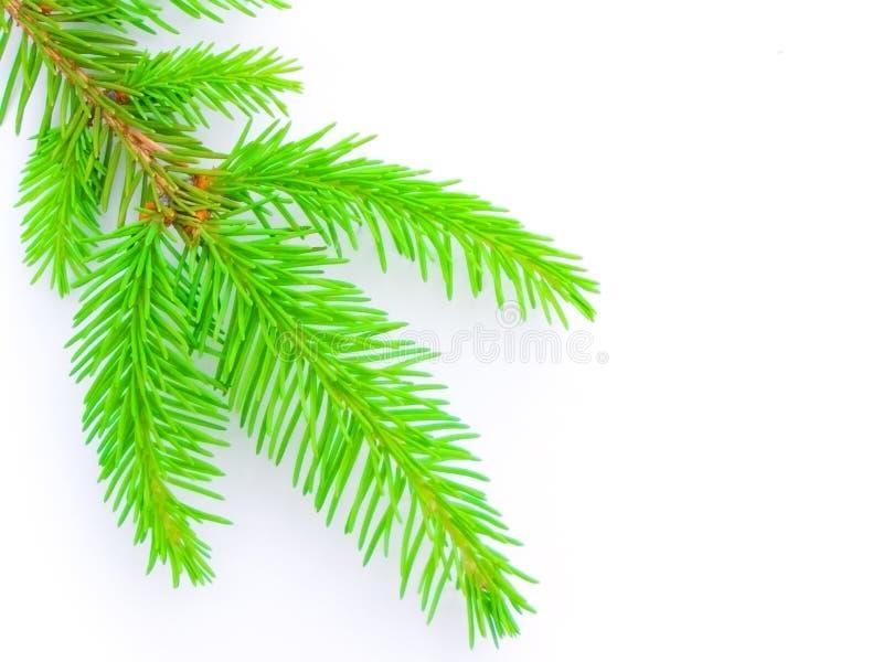 firtree стоковые изображения