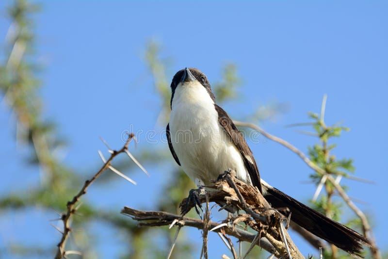 Fiscaal met lange staart, het Nationale Park van Amboseli, Kenia royalty-vrije stock afbeeldingen