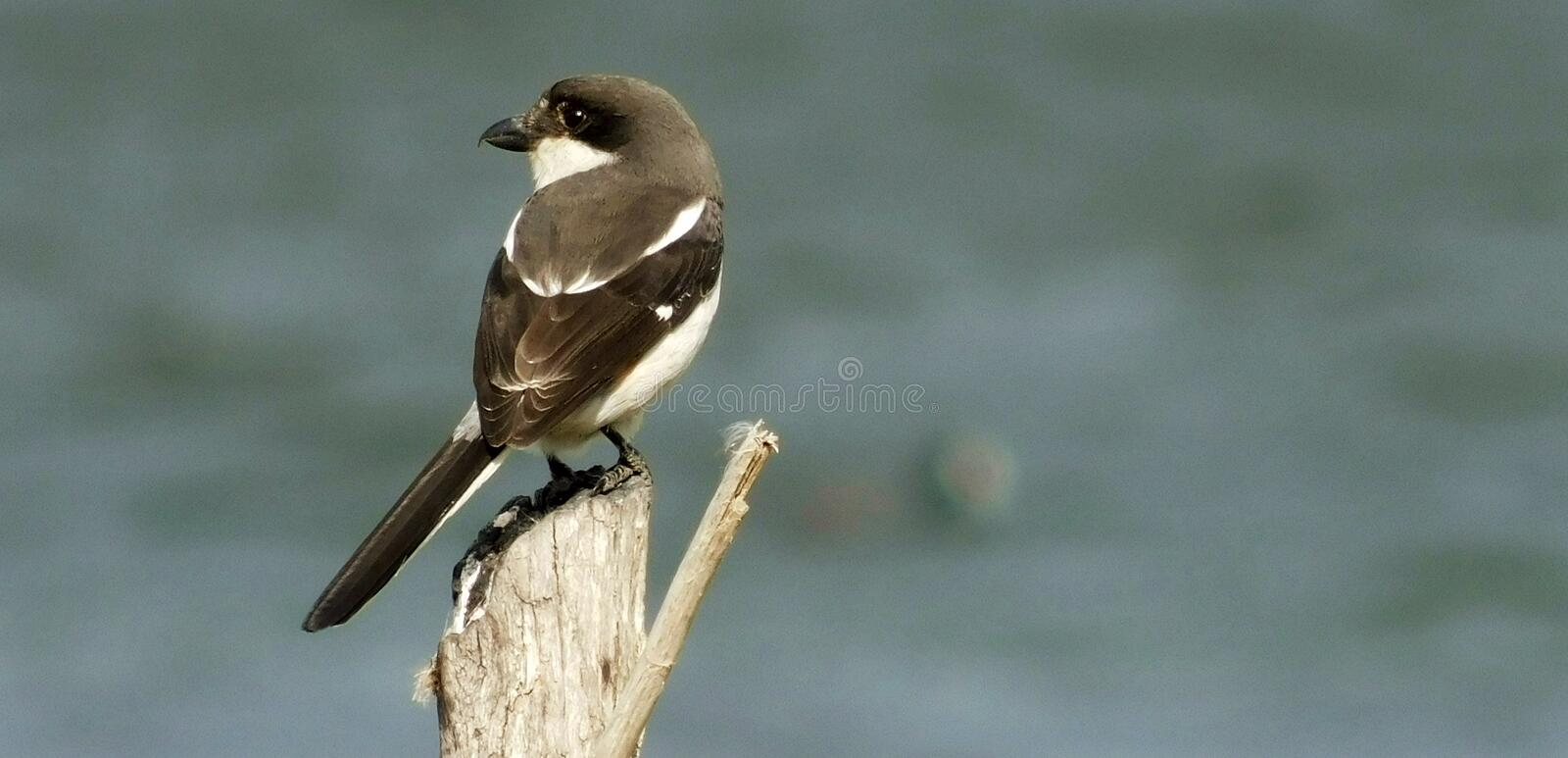Fiscal Fly Catcher. A fiscal fly catcher sitting on a tree stump at the water`s edge in the morning sunlight royalty free stock photo