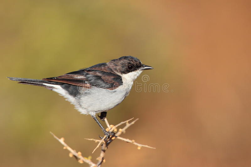 Download Fiscal Flycatcher stock image. Image of silens, resident - 12492215