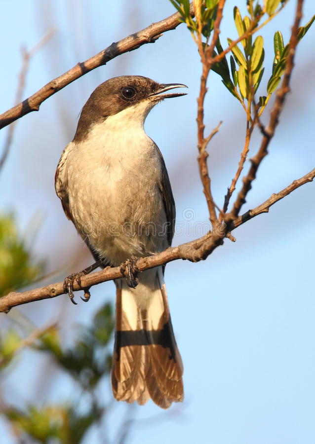 Fiscal Flycatcher. Photopgraphed in South Africa stock photography