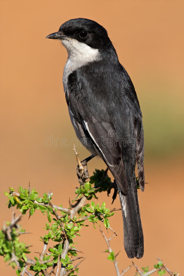 Download Fiscal Flycatcher Royalty Free Stock Image - Image: 27859906